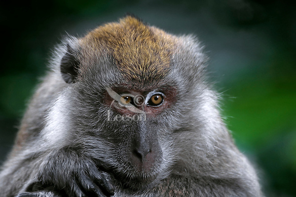 Long-tailed Macaque (Macaca fascicularis) Tropical Forest. S.E. Asia.