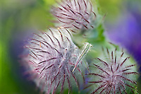 Indian or Edible Thistle (Cirsium edule).  Hurricane Ridge. Olympic National Park. Washington.