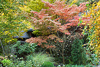 Variegated dogwood tree (Cornus florida 'Cherokee Sunset') in Gay Edelson garden in Lafayette, California with fall color