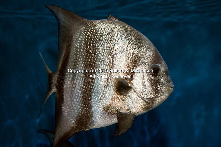 Atlantic Spadefish swimming right