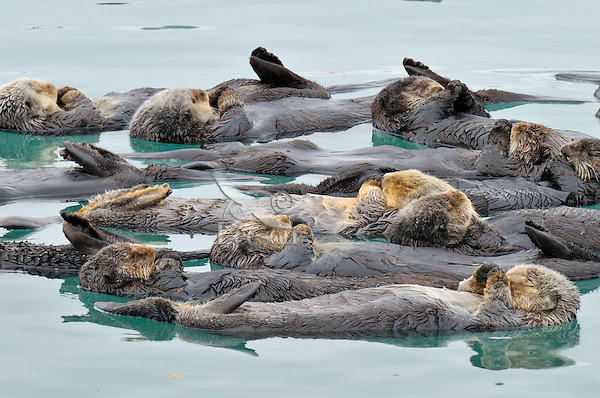 Alaskan or Northern Sea Otter (Enhydra lutris) raft.  Sea Otters often gather in a protected (from current, tide, wind, waves, swells) area to rest. Alaska