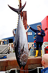 Massive bluefin tuna washed up on the English coast