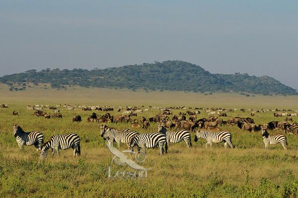 Zebra and wildebeest in Serengeti National Park, Tanzania.