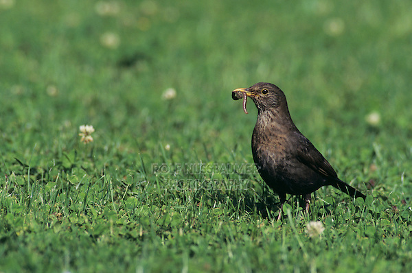 Common Blackbird, Turdus merula, female catching worms on lawn, Oberaegeri, Switzerland, May 1995