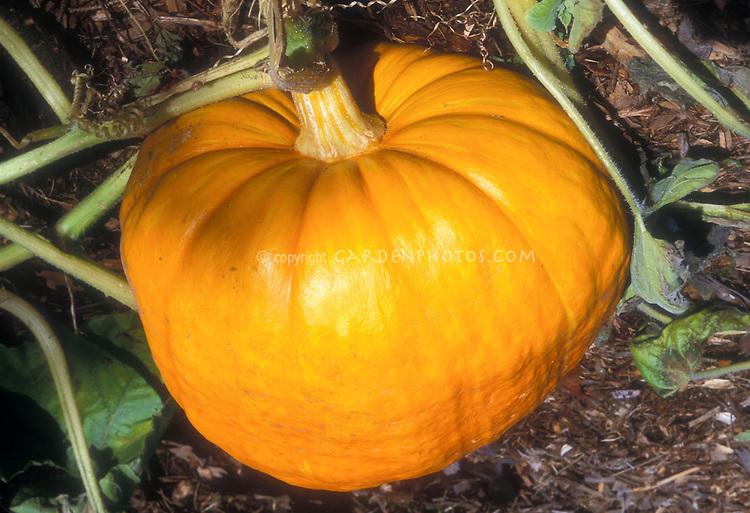 Pumpkin 'Cinderella' heirloom type growing on vine in garden