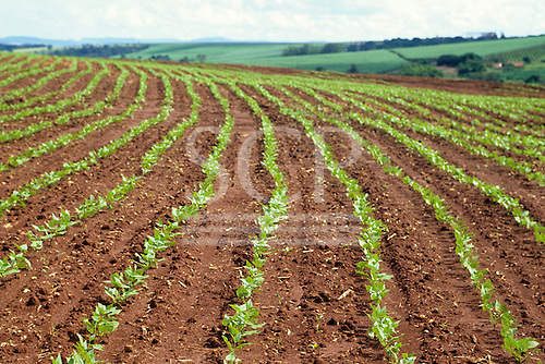 Parana State, Brazil. View of soya plantation with rows of soya seedlings on red soil of the Amazon.