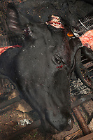 Nigeria. Enugu State. Agbani.  A cow has been slaughtered by butchers with machete. The dead animal's head is moved on the fire. Cattle—colloquially cows—are the most common type of large domesticated ungulates. They are a prominent modern member of the subfamily Bovinae, are the most widespread species of the genus Bos, and are most commonly classified collectively as Bos taurus. Cattle are commonly raised as livestock for meat. 6.07.19 © 2019 Didier Ruef