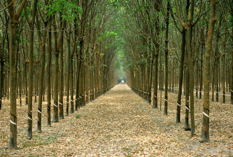 Rubber tree plantation, view down rows of perfectly spaced trees, Vietnam