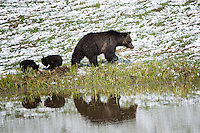 Grizzly mom with two cubs with reflection, Yellowstone National Park