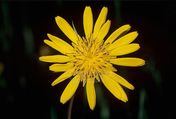 Yellow Goat's-Beard, Tragopogon pratensis , blooming, Oberaegeri, Switzerland, May 1995
