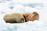 Atlantic walruses, Odobenus rosmarus rosmarus, a male and female on an ice floe, Spitsbergen, Norway, Europe