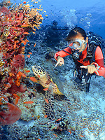 A Diver gives the diver's sign of Sea turtle while pointing at the hawksbill turtle, with the turtle looking up at the school of anthias on the coral reef wall, Tubbataha, Philippines.