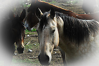Portrait of a buckskin gelding. This reminds me of a trading card I once had as a kid.