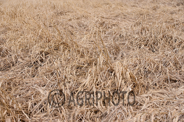Laid Winter Barley due to storm damage in Lincolnshire.Picture by Tim Scrivener date taken 11th August 2012.mobile 07850 303986 e-mail tim@agriphoto.com.....covering agriculture in The United Kingdom....