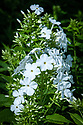 Phlox paniculata 'White Admiral', early August.