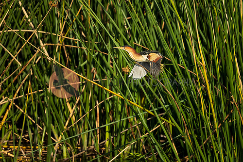 Male Least Bittern lifting off in flight from reeds