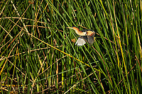 Male Least Bittern lifting off in flight from his perch on reeds