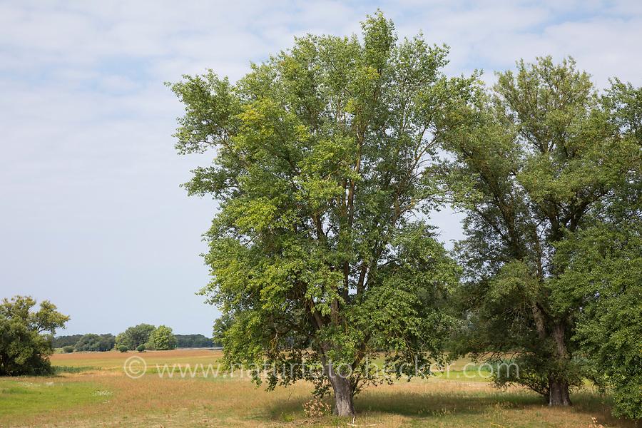 Schwarz-Pappel, Schwarzpappel, Pappel, Saarbaum, Populus nigra, black poplar, black-poplar, Le peuplier noir
