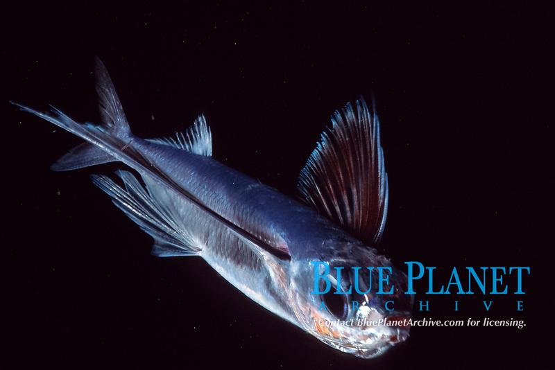 flying fish, Hirundichthys affinis, Bahamas, Caribbean Sea, Atlantic Ocean
