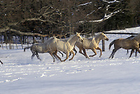 Quarter horses running in the snow, focus on white horses in trees along edge of field