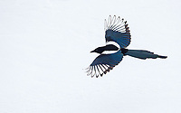A long-time nemesis species for me, magpies are common in the park, but usually rather shy.