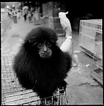 Jakarta, Indonesia. August, 2000. A monkey sits on top of a cage for sale on Jalan Balito, Jakarta. The illegal animal trade has flourished since Suharto resigned from office in 1998 a result of the Asian economic crisis.
