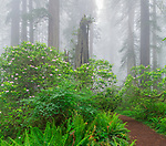 Redwoods National Park, California:<br /> Redwood (Sequoia sempervirens) trees and rhododendron in fog on the Damnation Creek Trail