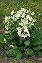 Wild primrose (Primula vulgaris), late March.