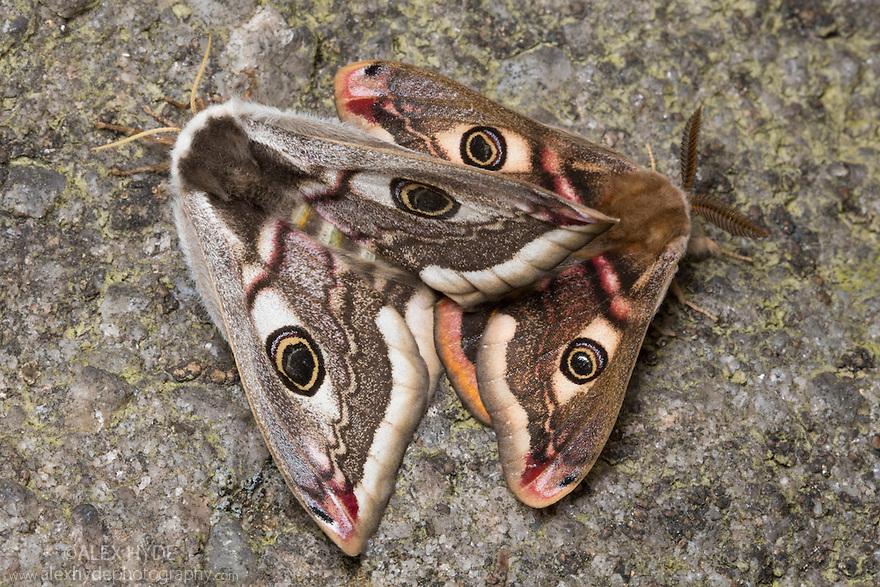 Mating Emperor Moths {Saturnia pavonia} Peak District National Park, UK. May.