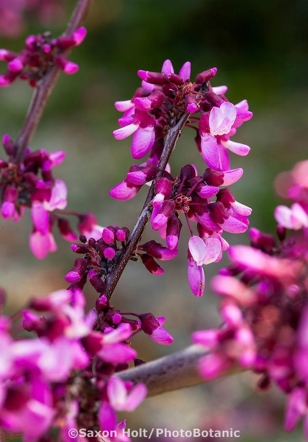 California native plant, flowering redbud tree Cercis occidentalis 'Claremont'