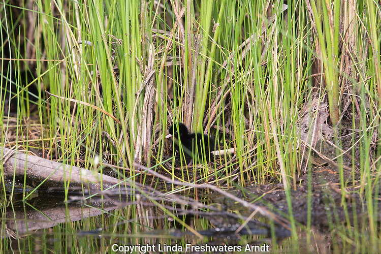 Virginia rail chick hidden in the vegetation