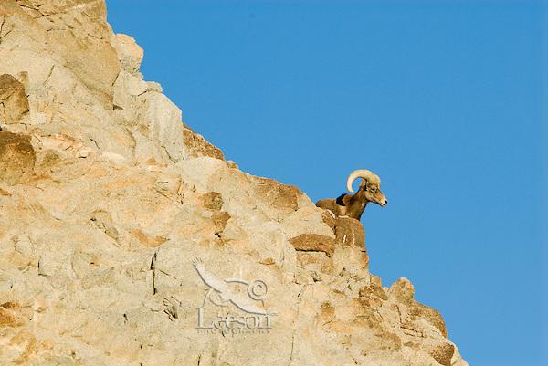 Desert Bighorn Sheep (Ovis canadensis nelsoni) ram.  California..