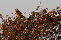 A Northern Harrier perches at first light.