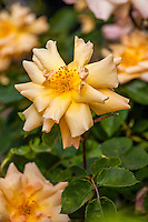 'Car Wash Rose' climber collected near a car wash in Califonia Mother Lode - Old roses in Sacramento Old City Cemetery