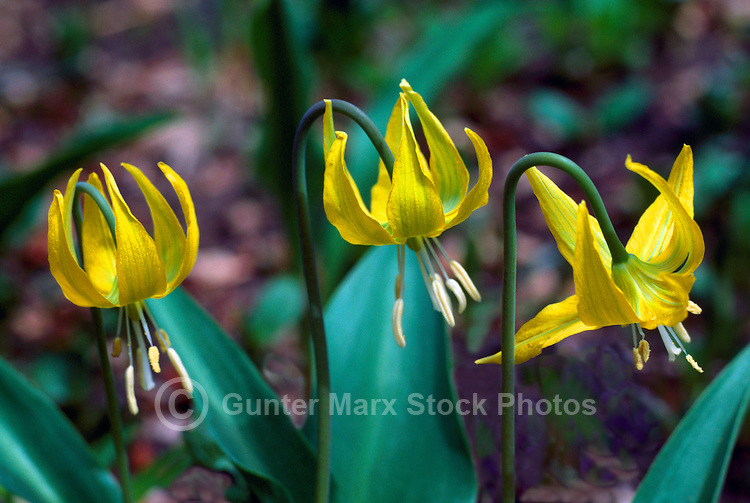 Yellow Avalanche Lilies (Erythronium grandiflorum) blooming in West Coast Forest, Spring