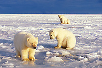 polar bear, Ursus maritimus, mother with cubs on the pack ice of the frozen 1002 coastal plain of the Arctic National Wildlife Refuge, Alaska, polar bear, Ursus maritimus