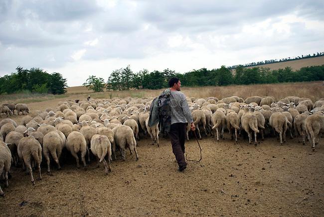 REPUBLIC OF MOLDOVA, Gagauzia, Vulcanesti, 2009/06/30..Pantel Kirilovitch CERNEVES, the stepfather of Viera, has forty sheeps. The herd includes animals than a dozen owners. Today is the turn of Pantel trafficking and to recover the milk to make cheese..© Bruno Cogez..REPUBLIQUE MOLDAVE, Gagaouzie, Vulcanesti, 30/06/2009..Pantele Kirilovitch Cernev, le beau père de Viera, possède une quarantaine de brebis. Le troupeau regroupe les bêtes d'une dizaine de propriétaires. Aujourd'hui, c'est au tour de Pantele de faire la traite et de récupérer le lait pour faire du fromage..© Bruno Cogez