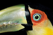 Amazon, Brazil. Close-up of the eye and upper beak of a red-breasted toucan (Ramphastos dicolorus).