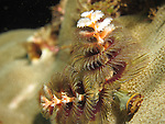 Kenting, Taiwan -- The Christmas tree worm, Spirobranchus giganteus, on coral substrate<br /> <br /> Even though it looks like two tube worms, the twin spirals of a single animal are shown in the picture.<br /> <br /> Christmas tree worms live in calcareous tubes which penetrate living coral heads.<br /> They are extremely variable in color: yellow, blue, purple red, orange and brown ones are all observed.<br /> Upon the slightest disturbance they instantly retreat into the shelter of their tube.