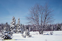 TT12-044z  Red Maple - winter -Acer rubrum
