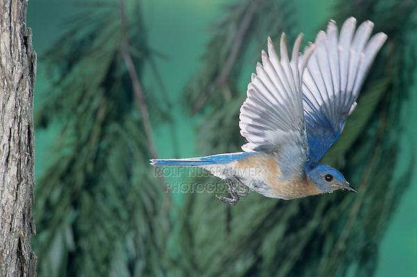 Eastern Bluebird, Sialia sialis, male in flight, Willacy County, Rio Grande Valley, Texas, USA, April 2004