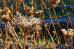 Dried Wild Parsnip in driftwood on beach.  Belfair State Park, on Hood Canal, Belfair, Washington