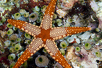 Sea star, Fromia monilis, Lembeh Strait, North Sulawesi, Indonesia,