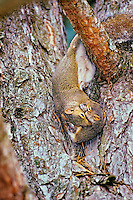 Eastern Gray Squirrels (Sciurus carolinensis)--mother is moving one of its young from one nest to another.  They often do this because of space constraints or because the first nest becomes overrun with fleas or other bothersome pests.