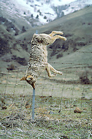 Dead Coyote (Canis Latrans) hanging on fence.  Western U.S.