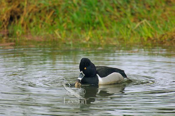 Ring-necked Ducks (Aythya collaris) drake and hen mating.  Pacific Northwest