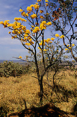 Amazon, Brazil. Ipe Amarelo yellow flowering tree in cerrados.