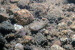 Pumpkinseed eggs on bottom of sand/cobble nest.  Each egg measures approximately 2 mm in diameter.