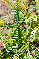 The native Hawaiian kupukupu fern, which stands under one foot tall and is found on all islands. The non-native species is much larger in size.