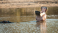 Most people now know that hippos kill more people than any other large animal in Africa. What is not known is the increasing threat to hippos from ivory hunters who target hippo's teeth to quench the insatiable appetite of the East for ivory.